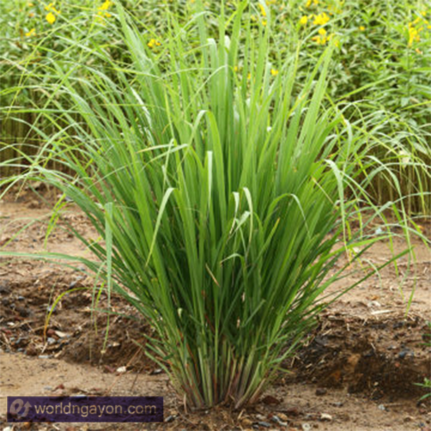 research paper of lemon grass as a mosquito repellent